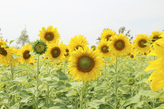 Sunflower, field of yellow sunflowers. Royalty Free Stock Photos