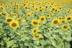 Sunflower, field of yellow sunflowers. Stock Photo