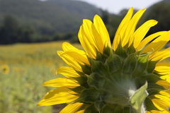 Sunflower field. Yellow sunflowers field with mountain view Royalty Free Stock Photo