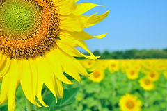 Sunflower field with young woman. Sunflower field with blue sky stock photography