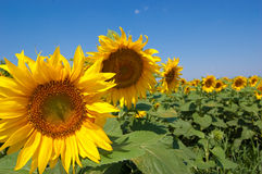 Sunflower fields Stock Images