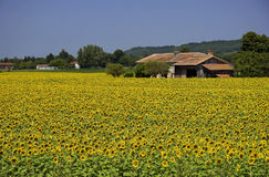 Sunflower fields Stock Photography