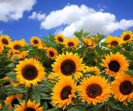 Sunflower Fields Stock Image