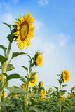 Sunflower fields are blooming in summer. Stock Photo