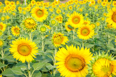 Sunflower fields are blooming in summer. Stock Image
