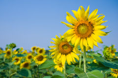 Sunflower fields with clear blue sky. Sunflower fields isolated with the clear blue sky Royalty Free Stock Images