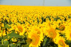 Sunflower fields in the clear sky. stock photos