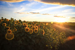 Sunflower fields on a country road Royalty Free Stock Photos