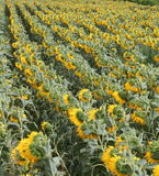 Sunflower Fields  Royalty Free Stock Image