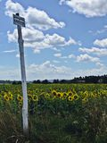 Sunflower fields Stock Images