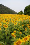 The Sunflower Fields. The flower called sunflower are on the field in Lopburi Thailand they are yellow and beautiful They bloom on November It is used for Animal Royalty Free Stock Images