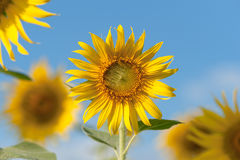 Sunflower fields in full bloom. Blooming sunflower fields around a clear day Stock Images