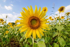 Sunflower fields in full bloom. Fields of sunflowers were in full bloom and gardeners Royalty Free Stock Photos