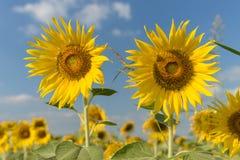 Sunflower fields in full bloom. Fields of sunflowers were in full bloom and gardeners Stock Image