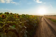 The sunflower fields on the left the dirt road leaves in the horizon and the wheat field on the right Digital composite stock photos