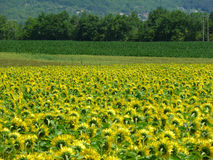 Sunflower Fields, Lot-et-Garonne, FRANCE. Driving through the region of Lot-et-Garonne in France you can see a lot of these typical French Sunflower fields. The Stock Photography