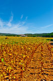 Sunflower Fields. Medieval French Town Surrounded of the Sunflower Fields Stock Photography