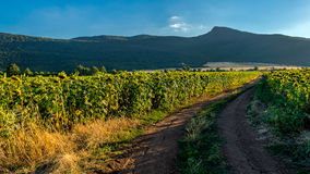 Sunflower fields. My favorite mountain in the back - Smedovets and two fields of sunflowers lighten by the setting sun. I wanted to capture a nice sunset and two royalty free stock image