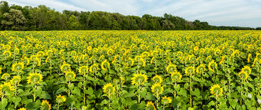 Sunflower Fields Royalty Free Stock Images
