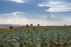 Sunflower fields with sky stock images