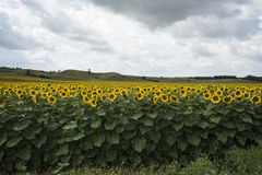 Sunflower fields in summer Royalty Free Stock Photo