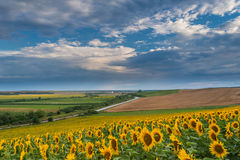 Sunflower fields in summer Royalty Free Stock Image