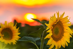 Sunflower fields in summer Stock Photos