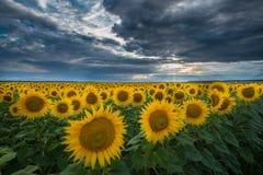 Sunflower fields in summer Royalty Free Stock Photo