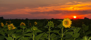 Sunflower fields in summer Royalty Free Stock Photos