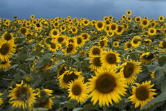 Sunflower fields Stock Photo