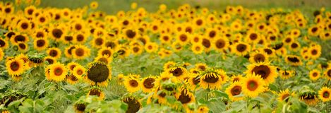 Sunflower Fields. Sunflower on a sunny day in a field Royalty Free Stock Photo