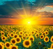 Sunflower fields during sunset. Beautiful composite of a sunrise. Over a field of golden yellow sunflowers royalty free stock photo