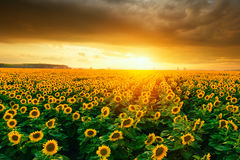 Sunflower fields during sunset Stock Image
