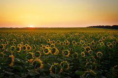 Sunflower fields during sunset. Stock Images