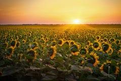Sunflower fields during sunset. Stock Image