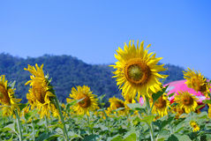 Sunflower. In fields tropical thailand Stock Photos
