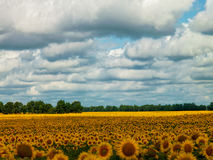 Sunflower fields under the moody skies Stock Image