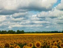 Sunflower fields under the moody skies Stock Image