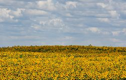 SUNFLOWER FIELDS IN THE VOJVODINA stock images
