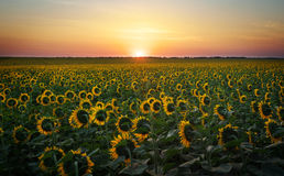 Sunflower fields in warm evening light. Digital composite of a sunrise over a field of golden yellow sunflowers royalty free stock photography
