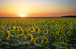 Sunflower fields in warm evening light. Royalty Free Stock Photography