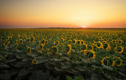 Sunflower fields in warm evening light. Royalty Free Stock Images