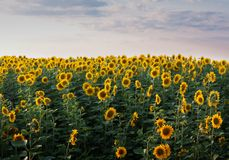 Sunflower filed. With purple clouds over Royalty Free Stock Images