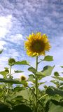 Sunflower. Filed sunflower agriculture Thai oil plant Royalty Free Stock Image