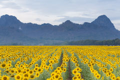 Sunflower filed with full bloom condition Stock Photography