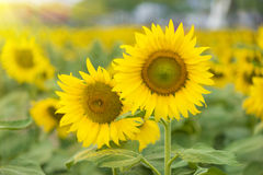 Sunflower in filed Stock Photo