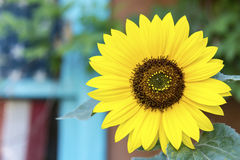Sunflower with flag background Royalty Free Stock Image
