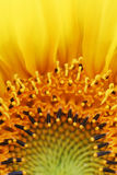 Sunflower Flames Detail Royalty Free Stock Images