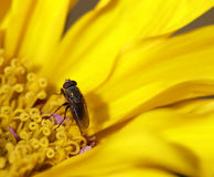 Sunflower with flies in summer Stock Photo