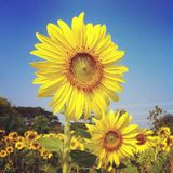 Sunflower flora Royalty Free Stock Image